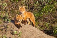red fox cubx  Susan K McConnell  22_E7E7082