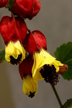 Abutilon Megapotamicum Flowers