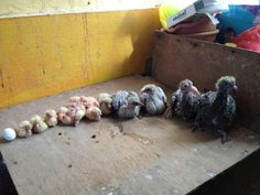 baby pigeon lineup shows how quickly a pigeon grows and changes in the first 10 days of life. Baby Pigeon, Cute Pigeon, Pigeon Bird, Racing Pigeon Lofts, Pigeon Pictures, Homing Pigeons, Pigeon Breeds, Family Crafts, White Doves