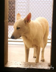 WH247 / A3509603  2 YR M WHITE / GERM SHEPHERD/MIX STRAY Intake Date: 9/11/2014 S5 BEH-OTH  At risk for euthanasia at 5am, Mon. Sep 15  MCACC West Valley Animal Care Center (602-506-2765) 2500 S. 27th Avenue Phoenix, AZ 85009 (27th Ave/Lower Buckeye) Hours open: 11AM-6PM Monday-Friday 11AM-5PM Saturday & Sunday Closed the first Sunday of every month.  **CLICK TO SEE HOW THIS PAGE WORKS** http://statictab.com/y6ccj33 — at Maricopa County Animal Care and Control West. Like