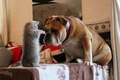 "♥ Fur baby to cat .... ""I don't understand, can you show me how you did it?"" The wonderful communication skills of our fur babies! ♥ Posted on Baggy Bulldogs"