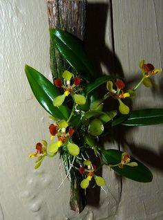 Gomesa (Oncidium) colorata species orchid, new to the collection 9-12, my 1st bloom 10-13*
