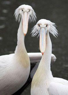 Pair of Pelicans Nós acordando pela manhã!!!!!