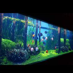 Aquarium Fish Tips Aquarium Design, Diskus Aquarium, Coral Aquarium, Aquarium Terrarium, Tropical Fish Aquarium, Nature Aquarium, Freshwater Aquarium Fish, Fish Aquariums, Aquarium Ideas