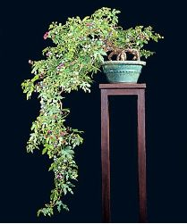 Porcelain Berry - Ampelopsis brevipeduculata