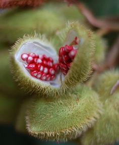 Achiote seed pod