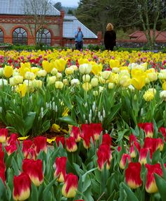 Tulips in full blown in the Walled Garden at Biltmore Estate, April 8, 2015