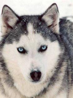 Siberian Husky. ♥