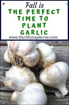 #plantinggarlic #gardeningtips #growinggarlic #backyard #planting #freezes #perfect #pla... Planting Garlic In Fall, Gardening Tips, Backyard, Vegetables, Plants, Patio, Veggies, Backyards, Vegetable Recipes