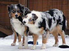 Australian Shepherds Blue Merle