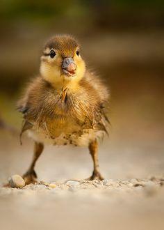 Mandarin duck by Robert Adamec