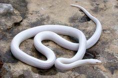 #albino #snake