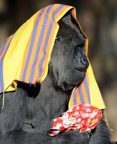 A Western Lowland Gorilla named Piko eats an orange while holding a Christmas pouch at the Ueno Zoo in Tokyo on December 25, 2010. The Gorillas received Christmas presents from the zoo keepers to celebrate the festivities. AFP PHOTO / TOSHIFUMI KITAMURA