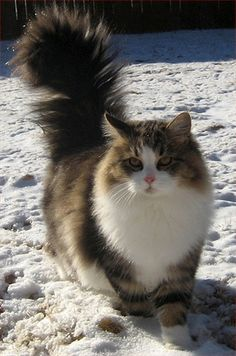 Siberian Cat - Breed Profile:    Origin: Siberia (Russia)  Colors: Any  Size: Large  Coat Type(s): Longhair  Grooming: Weekly  Talkativeness: Quiet  Activity Level: Average  Attention Requirement: Average  Overall: Easy to handle