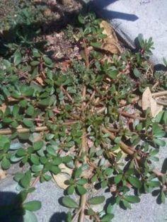 Purslane - A nutritious edible weed