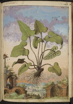 Wonderful set of watercolours from a 16th-century herbal, dramatic depictions of a wide range of medicinal plants before a backdrop of landscapes, often featuring populated scenes. See our selecton...