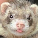 25.5k Followers, 472 Following, 757 Posts Ferret, Posts, Animals, Messages, Animales, Animaux, Ferrets, Animal, Animais