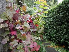 Vitis vinifera 'Purpurea' climbing purple-leafed grape Vides, Vitis Vinifera, Autumn Garden, Girl Photos, Climbing, Landscape, Purple, Design, Shrubs