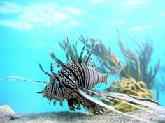 War on lionfish shows first promise of success - Technology Org