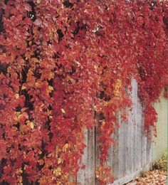 climbing vines for chain link fence oregon | ... vines and climbing plants suited to covering up an undesirable chain