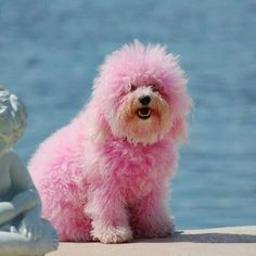 I want a big furry pink dog but, sadly, my husband would never say yes. He walks the dogs in our house far too often to agree to a pink pooch! Pink Animals, Cute Animals, Funny Animals, Shih Tzu, Tout Rose, Pink Poodle, Dog Shaming, Bff, Pink Dog