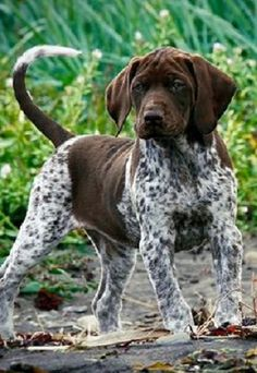 it looks a little close to me dog!! cra cra adorbes!! GSP