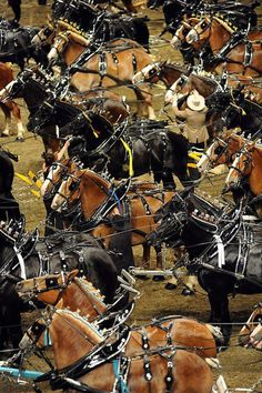 Carriages lining up at a show to be judged for the best team of 4 heavy drafts in harness.