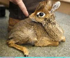 Mouse Deer (Chevrotain)