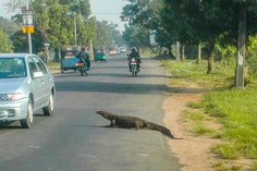 A monitor lizard crossing the road in Sri Lanka - Walking the World