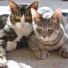 Lou and Liv wish everyone happy International Cat Day although they argue every day is Cat Day  . . . . . #internationalcatday #cats_of_instagram #opttoadopt #polydactylcat #polydactylcats #nikon #nofilterneeded #bffs #furbabies #adoptdontshop #rescuecats #instagood #lazysunday #sundayfunday #partyanimal #catsofinstagram #catstagram #petstagram #rescuedismyfavoritebreed #petsofgainesville