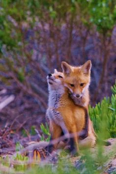 Did you know that foxes keep the same mate all their life