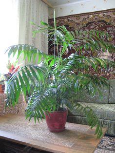 Easy to Grow Foliage Houseplant Live Areca Palm Plant Fit 4 Pot