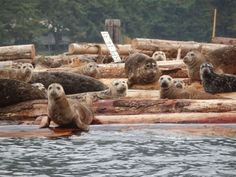 Seals at Cowichan Bay - from the Images of Victoria Collection
