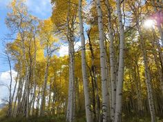 There's nothing like visiting an aspen grove in the #fall! You can grow an aspen grove of your own in zones 2-6. #mondaymotivation