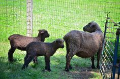 Romney Sheep | The Romney sheep were grazing in the field. Romney Sheep, Sheep And Lamb, Lambs, Goats, Horses, Wool, Knitting, Crochet, Animals