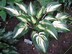 Hosta 'Sharp Dressed Man'