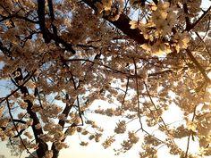 Cherry BlossomsDC9_MQ2013