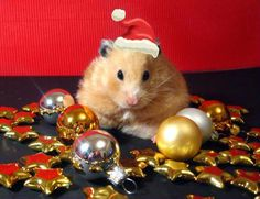 Christmas hamster - I KNOW Xmas has passed... But I love this picture anyway!