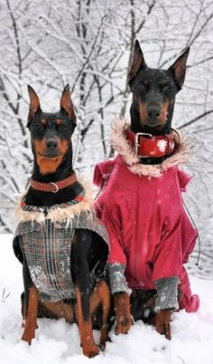 What? I am a Doberman so I want to be warm and stylish!