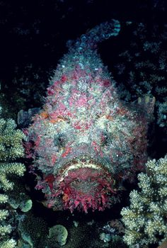 Reef Stonefish (Synanceia verrucosa) / The fin spines of this amazingly well-camouflaged fish contain highly toxic venom. / Witu Islands, Papua New Guinea