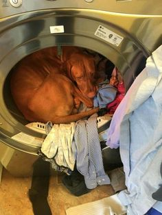 "Vizsla ~ Classic ""Dryer Warmth"" Look Vizsla Funny, Funny Dogs, Cute Dogs, Funny Animal Pictures, Funny Animals, Cute Animals, Vizsla Puppies, Vizsla Dog, Rhodesian Ridgeback"