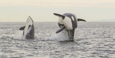 Rare Animals, Strange Animals, Orcas, Whale Mammal, Baleen Whales, Great Whale, Wale, Pet Rats, Killer Whales