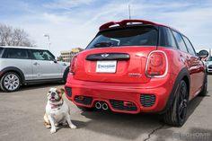 Mascot | Bulldog | Car | MINI Cooper | MINI bulldog | MINI cooper bulldog | dogs | pets | cars and dogs | cute | adorable | MINI in Denver | MINI Colorado | schomp MINI | The Mile High City | an original @schompmini pin