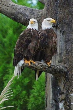 The National Bird of the USA, The Bald Eagle