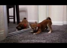 This dog sees himself in the mirror for the first time (Video)