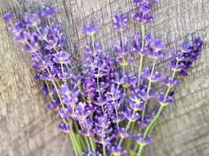 (Lavandula vera) Famous for fragrance, the lavender-colored blossoms are used in potpourris, soaps, etc. A great old-time cottage garden plant. Â Here are some germination tips passed on from a customer: Pour the seeds into a jar, and add about Lavender Seeds, Growing Lavender, Lavender Flowers, Herb Seeds, Garden Seeds, How To Propagate Lavender, Perennial Vegetables, Cottage Garden Plants, Spring Has Sprung