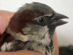 Sparrow Birds, Animals, Animaux, Bird, Animal, Animales, Animais