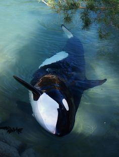 Orca. I just love them!