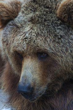brown bear | Jordi Payà | Flickr