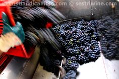 crushing #ciliegiolo #grapes #wine #photo by #sestriwine